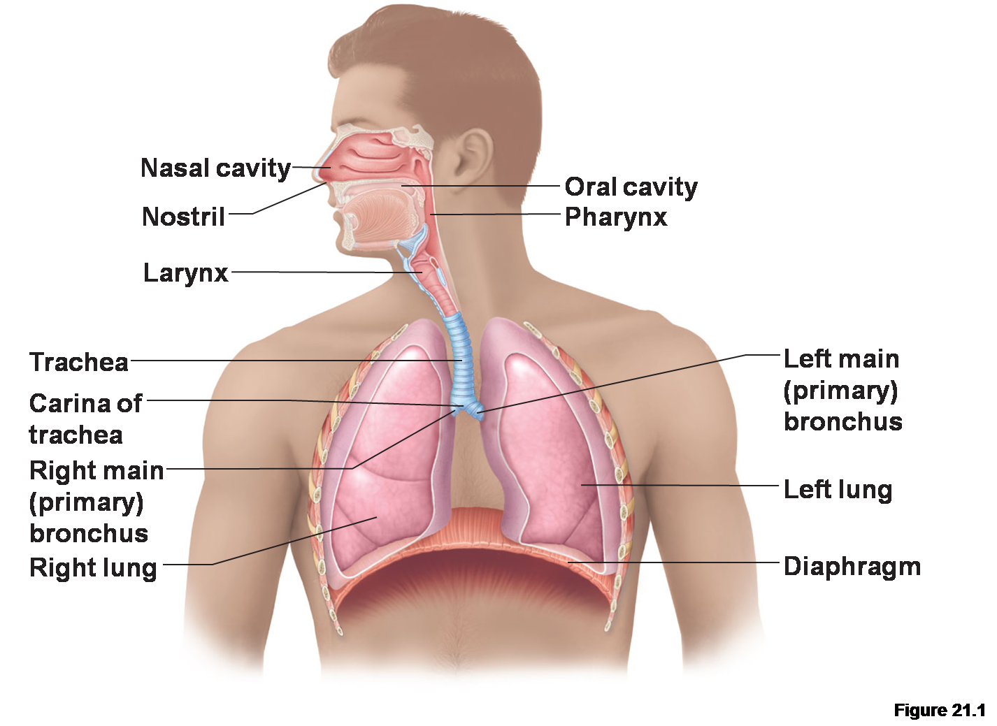 describe the basic anatomy of the The ear can be divided into three parts, which work together, they are the outer ear, the middle ear and the inner ear basic anatomy of the ear the outer ear.